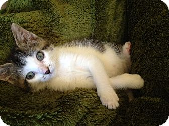 Domestic Shorthair Kitten for adoption in Yukon, Oklahoma - Tiny