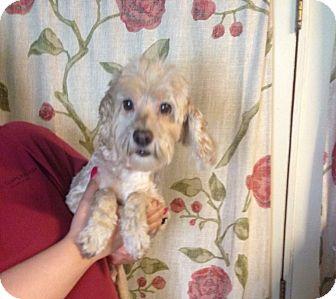 Cocker Spaniel/Poodle (Miniature) Mix Dog for adoption in Kansas city, Missouri - Buddy
