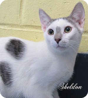 Domestic Shorthair Cat for adoption in Jackson, New Jersey - Sheldon