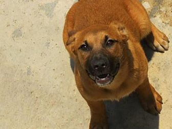 German Shepherd Dog/Labrador Retriever Mix Dog for adoption in Forreston, Texas - Layla