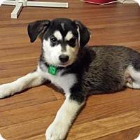 Adopt A Pet :: Skoll - pending - Saskatoon, SK