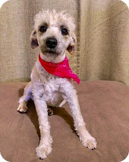 Poodle (Miniature) Dog for adoption in San Diego, California - CHELSEA