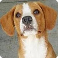 Adopt A Pet :: Belle - Lincolnton, NC