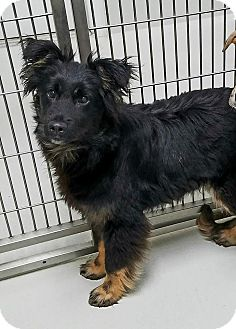 Australian Cattle Dog Mix Dog for adoption in Atchison, Kansas - Wizard