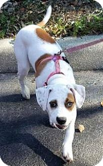 American Bulldog/Boxer Mix Puppy for adoption in New Smyrna Beach, Florida - Daisy