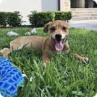 Adopt A Pet :: Vesta - Houston, TX