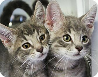 Domestic Shorthair Kitten for adoption in Red Bluff, California - PANTHER