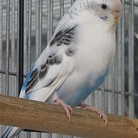 Parakeet - Other for adoption in Elizabeth, Colorado - June