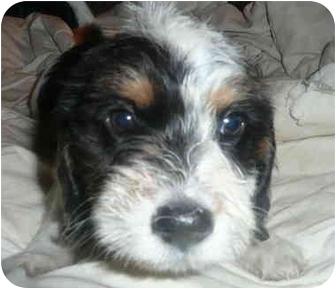 Cocker Spaniel/Jack Russell Terrier Mix Puppy for adoption in Chicago, Illinois - Seamus(ADOPTED!)