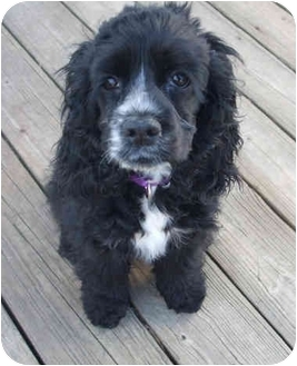 Cocker Spaniel Puppy for adoption in Mentor, Ohio - Emily 4mo Adopted