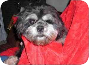 Lhasa Apso Dog for adoption in North Benton, Ohio - Lola
