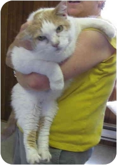Domestic Shorthair Cat for adoption in Randolph, New Jersey - Sunshine