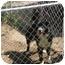 Photo 1 - Australian Shepherd/Border Collie Mix Dog for adoption in Cairo, Georgia - Rascal