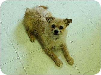 Terrier (Unknown Type, Small) Mix Dog for adoption in Marshalltown, Iowa - Lyle