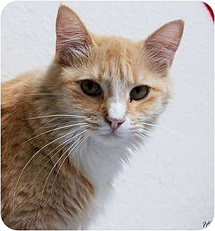 Domestic Longhair Cat for adoption in Dallas, Texas - NUTMEG