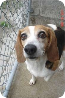 Beagle Mix Dog for adoption in Lake Odessa, Michigan - Adele