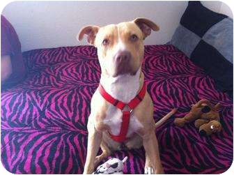 American Pit Bull Terrier Puppy for adoption in Sacramento, California - Roxy,the sweet girl