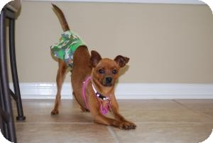 Chihuahua/Miniature Pinscher Mix Dog for adoption in New Milford, Connecticut - Lexi