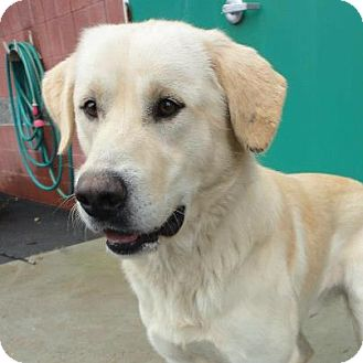 Labrador Retriever/Great Pyrenees Mix Dog for adoption in Homewood, Alabama - Dyson
