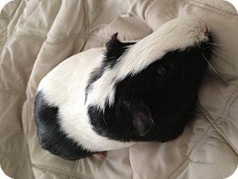 Guinea Pig for adoption in Fullerton, California - Evan