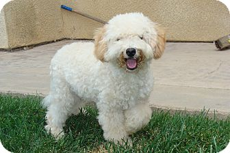 Poodle (Miniature)/Wheaten Terrier Mix Puppy for adoption in Tustin, California - Hank