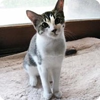Domestic Shorthair Kitten for adoption in Mission Viejo, California - Max