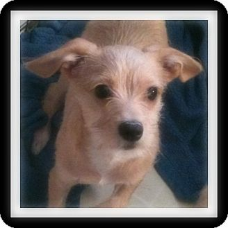Chihuahua/Terrier (Unknown Type, Small) Mix Puppy for adoption in Winchester, California - JOSH