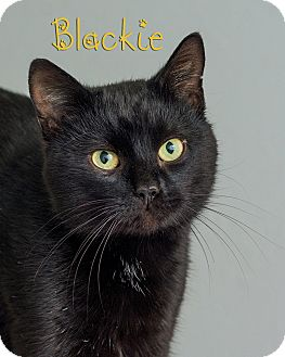 Domestic Shorthair Cat for adoption in Somerset, Pennsylvania - Blackie