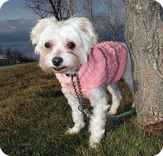 Maltese Dog for adoption in Redmond, Oregon - Lilly2