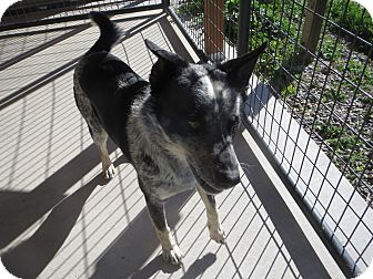 Australian Cattle Dog Dog for adoption in Cedaredge, Colorado - Mater