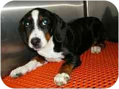 Basset Hound Mix Puppy for adoption in Provo, Utah - KEIFAUVER