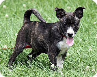 Boxer/Labrador Retriever Mix Puppy for adoption in Allentown, Pennsylvania - Fiona