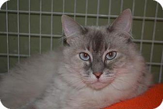 Domestic Longhair Cat for adoption in Edwardsville, Illinois - Sugar