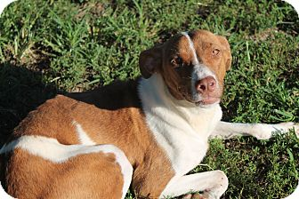 Brittany/Beagle Mix Dog for adoption in Pittsburg, Kansas - Minnie