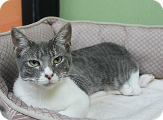 Domestic Shorthair Cat for adoption in Benbrook, Texas - Angel