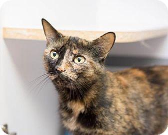 Domestic Shorthair Cat for adoption in Fountain Hills, Arizona - Shadi