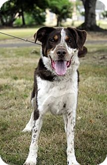 Australian Shepherd Mix Dog for adoption in Woodburn, Oregon - Archie - ADOPTION PENDING