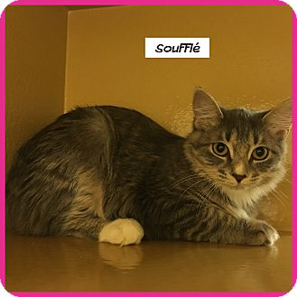 Domestic Mediumhair Cat for adoption in Miami, Florida - Souffle