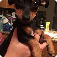 Adopt A Pet :: Belle - bridgeport, CT