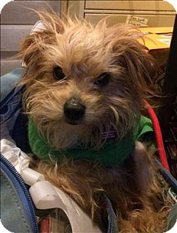 Terrier (Unknown Type, Small)/Maltese Mix Dog for adoption in Encino, California - Barney
