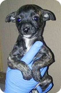 Terrier (Unknown Type, Small) Mix Puppy for adoption in Las Vegas, Nevada - Phoebe
