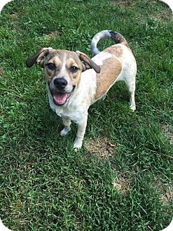 Beagle/Australian Cattle Dog Mix Puppy for adoption in Columbia, Tennessee - Rory (aka Aurora)