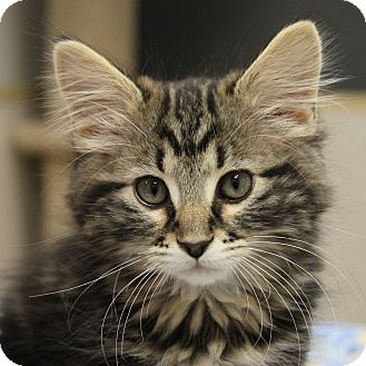 Domestic Mediumhair Kitten for adoption in Naperville, Illinois - Poe