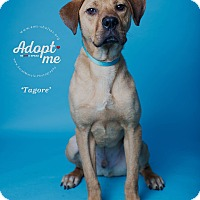 Adopt A Pet :: Tagore - New Milford, CT