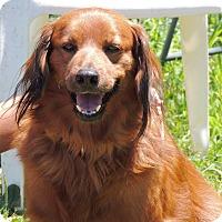Irish Setter Mix Dog for adoption in Joplin, Missouri - Georgie