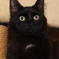 Domestic Mediumhair/Domestic Shorthair Mix Cat for adoption in St. Catharines, Ontario - Rambo
