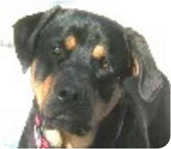 Rottweiler Mix Dog for adoption in Eatontown, New Jersey - Joey