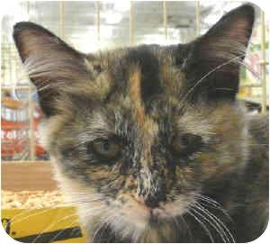 Calico Kitten for adoption in Sacramento, California - Calypso