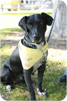 Labrador Retriever/American Staffordshire Terrier Mix Dog for adoption in Los Angeles, California - Mama
