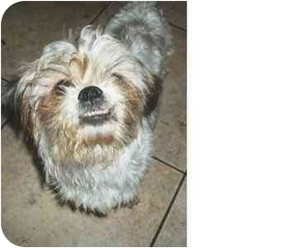 Shih Tzu Mix Dog for adoption in Coral Springs, Florida - Luckie
